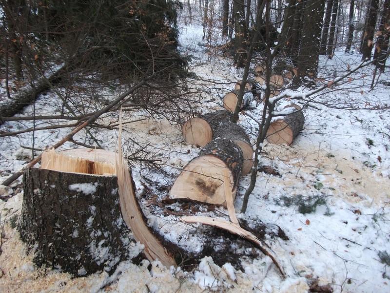 Drzewa_kradziez