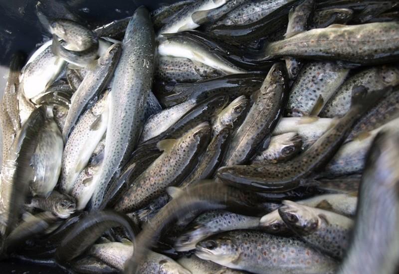 Do rzek trafi 800 tysięcy młodych ryb