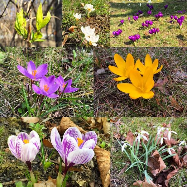 Śniegu znikaj – wiosno witaj
