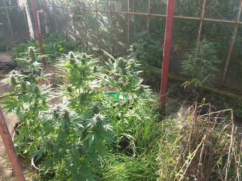 Uprawiał pomidory i… marihuanę